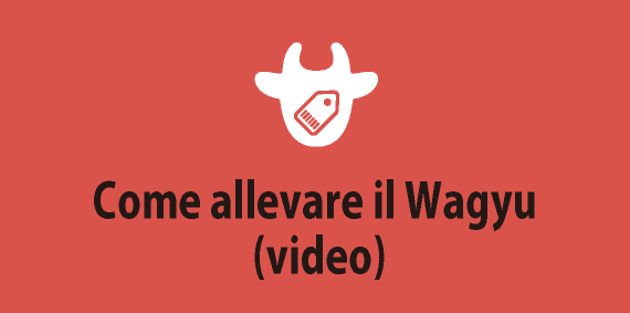 Come allevare il Wagyu (video)
